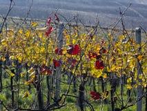 Vineyard on hills of Moravia Stock Photography