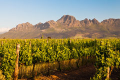 Vineyard in the hills of South Africa Stock Photography