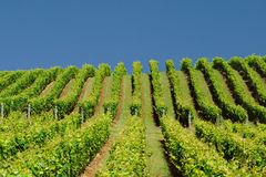 Vineyard on Hillside royalty free stock photography