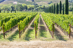 Vineyard in the hilly Napa Valley area Stock Images