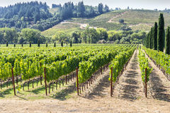 Vineyard in the hilly Napa Valley area Royalty Free Stock Photo