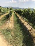 Vineyard. In Huahin Thailand Royalty Free Stock Image