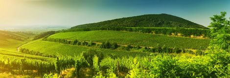 Vineyard in Hungary, panorama view Royalty Free Stock Photos
