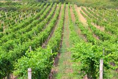 Vineyard in Hungary Royalty Free Stock Photography