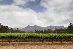 Vineyard. A Hunter Valley vineyard with a cloudy sky Stock Image