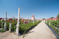 VIneyard - Ica, Peru Royalty Free Stock Photos