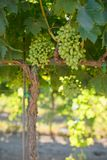 Vineyard with immature grapes. A california vineyard with green immature grapes on the vine Stock Image