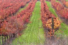 Vineyard In Autumn, Napa Valley California Stock Photos