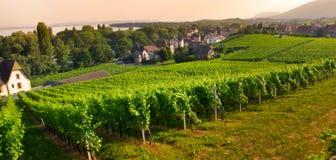Free Vineyard In Auvernier  Stock Image - 25935551