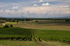 Vineyard In Italy Royalty Free Stock Images