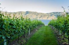 Vineyard In The Okanagan Valley At Sunset