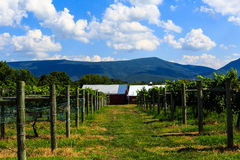 Free Vineyard In Virginia With Grapes And Mountain Scene Stock Photo - 76789690