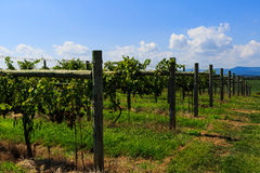 Free Vineyard In Virginia With Grapes And Mountain Scene Stock Photography - 76792702