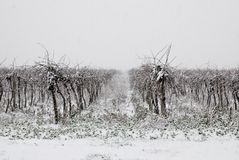 Vineyard In Winter Coverd By The Snow Stock Images