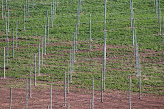 Vineyard. A vineyard with irrigation system Stock Photography