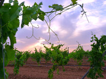Vineyard of irrigation on trellis with clouds sunset background 2. A Royalty Free Stock Photography