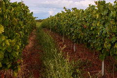 Vineyard of Isabella grapes in Istria, Croatia Royalty Free Stock Photography