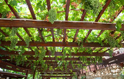 Vineyard on the island of Crete in Greece. Royalty Free Stock Photos
