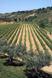Vineyard on island of Sicily. Scenic view of vineyard on island of Sicily with ancient viaduct in background, Italy stock photography