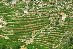 Vineyard with isolated house. In Hvar island Stock Photos