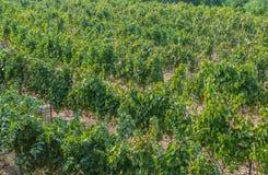 Vineyard in Israel Stock Photo