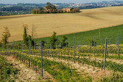 Vineyard in italian countryside Marche Royalty Free Stock Images