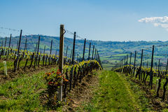 Vineyard in italian countryside Marche Stock Photography