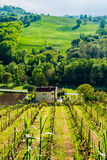 Vineyard in italian countryside Marche Stock Images