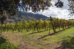 A vineyard in Italy Royalty Free Stock Photo