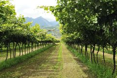 Vineyard. Italian vineyard in summer sunny day in South Tyrolia Stock Photo
