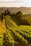 Vineyard Italy. Tuscany Vineyard in the hills. Late afternoon golden light. Long rows of vines leading up to tall tree on the horizon. gentle rolling hills in Stock Photo
