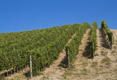 A vineyard in Italy Royalty Free Stock Photography
