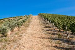 A vineyard in Italy Stock Images