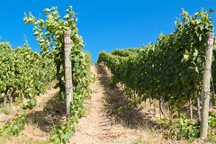 A vineyard in Italy Royalty Free Stock Images