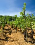 Vineyard in Italy. Environs of Biella in Piemont Canon EOS 30D royalty free stock images