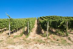 A vineyard in Italy Stock Image