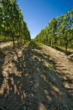 Vineyard in Italy. Vineyard in Langhe Roero, Italy with a beautiful blu sky Stock Images