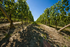 Vineyard in Italy. Vineyard in Langhe Roero, Italy with a beautiful blu sky Stock Photos