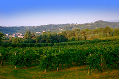 Vineyard in Italy Royalty Free Stock Photography