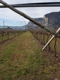 Vineyard in italy. Of  red grapes in winter Stock Photography