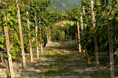 Vineyard in Italy Royalty Free Stock Image