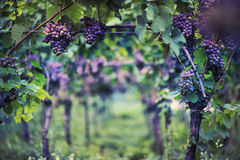 Vineyard in Italy. At sunset background stock photo