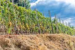 Vineyard in Italy. Winery in Italy Cinque Terre stock images