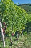 Vineyard,Kaiserstuhl region,Black Forest,Germany Stock Image
