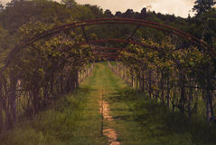 Vineyard in Kent, England Stock Images