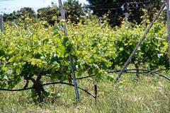 Vineyard. On Kos island in Greece Stock Image