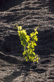 A vineyard in La Geria at Lanzarote island Royalty Free Stock Images