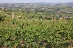 Vineyard in La Morra in Piedmont. Italy Royalty Free Stock Image