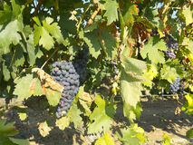 Vineyard in la Rioja before the harvest, Spain Stock Photography