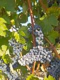 Vineyard in la Rioja before the harvest, Spain Stock Images